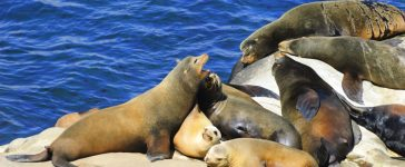 California Sea Lions Lie on the Pacific Ocean Coast - La Jolla, San Diego, California (Marina Ivanova/Shutterstock)