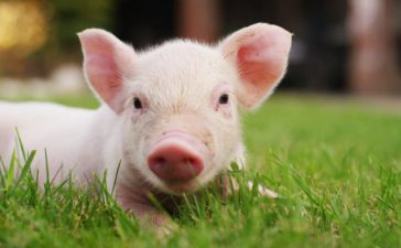 newborn piglet in a field (HQuality/shutterstock_556381594)