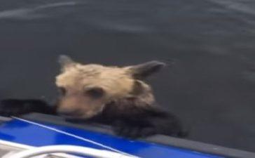 Drowning bear cub (Screenshot).