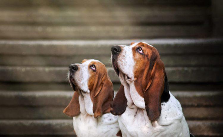Two Blessed Basset Hounds (shutterstock/Ksenia Raykova)