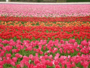 Rows of tulips