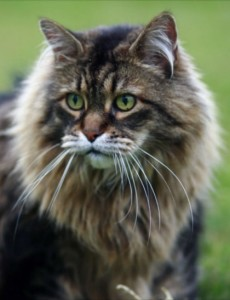 classic-maine-coon-male