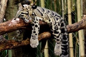 clouded-leopard-2-537x358