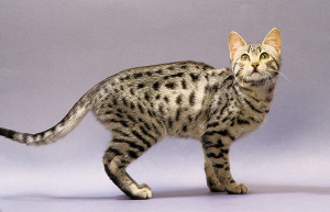 egyptian-mau-cat-8
