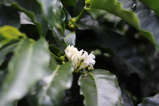 Coffee blossom at Los Aguacates
