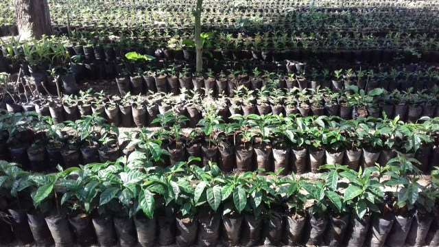 4. coffee-trees-project-pyramid-guate-trip