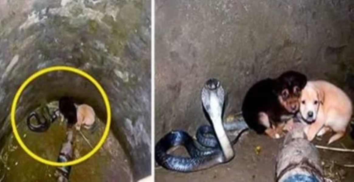 Two Puppies Fall Into A Snake Pit How The King Cobra
