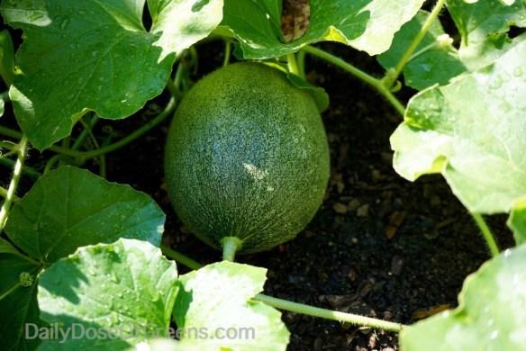garden, cantaloupe