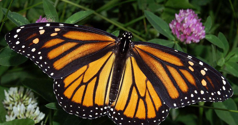 la prodigieuse metamorphose du papillon