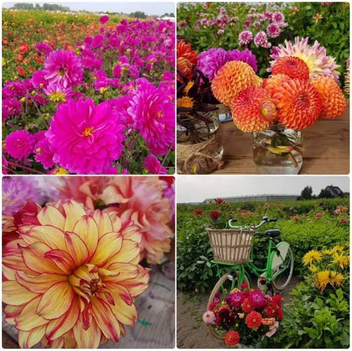 Dahlia FamFlowerFarm DailyGreenspiration