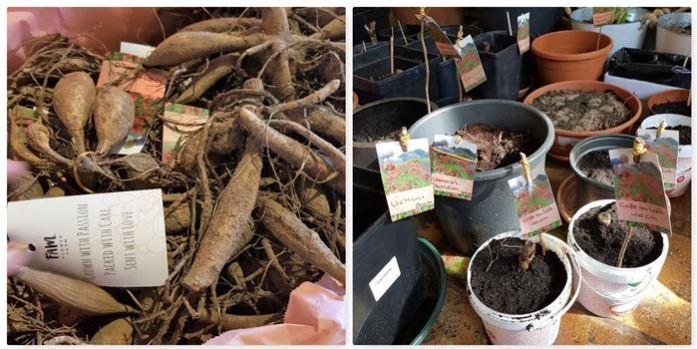 dahlia's planten