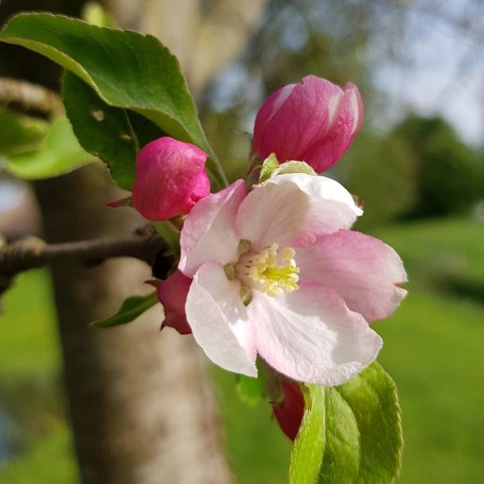 valfruit appelbloesem
