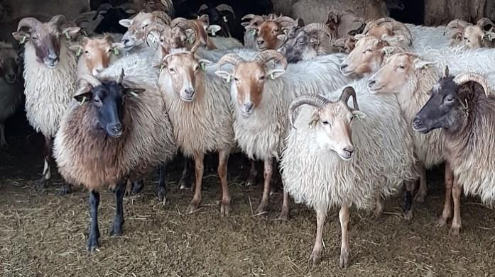 schapen holtingerveld zuidwest Drenthe