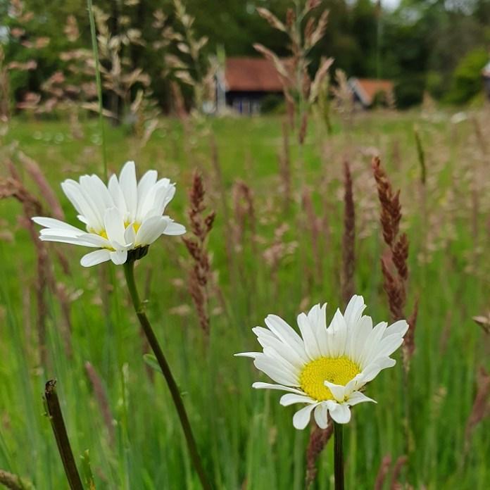 wilde bloemen margriet