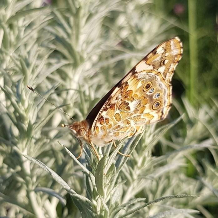 ogen op vlindervleugels