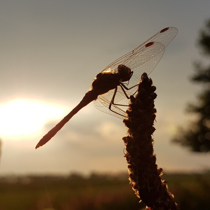 september in de tuin: libellen spotten