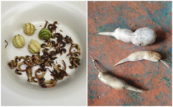 zaden van planten - oostindische kers, goudsbloem, radijs