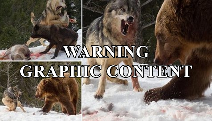 The Intense Moment When A Bear Takes On A Pack of Wolves For Dinner
