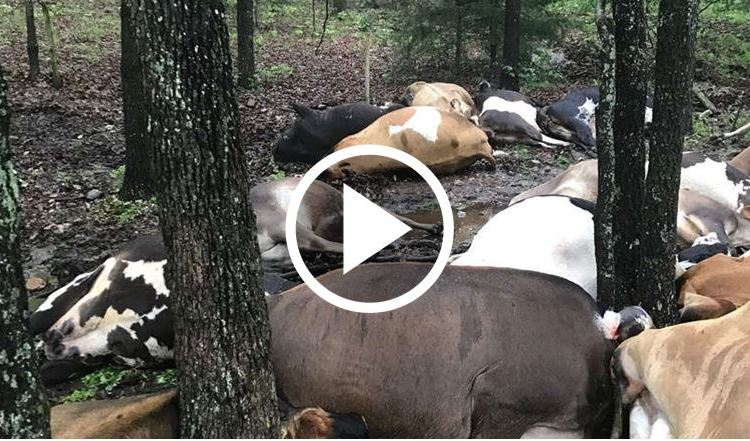Missouri Farmer Awakes To Find All 32 Of His Cows Dead And Piled On Top Of Each Other