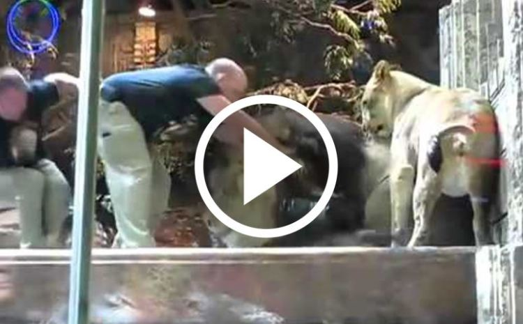 Brave Lioness Stops Another Lion From Eating The Zookeeper [WATCH]