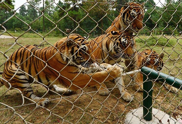 The Grisly Dinner Chinese Zoo Fed Their Tigers [VIDEO]