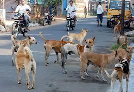 بیروہ میں آورہ کتوں میں تشویش ناک اضافہ