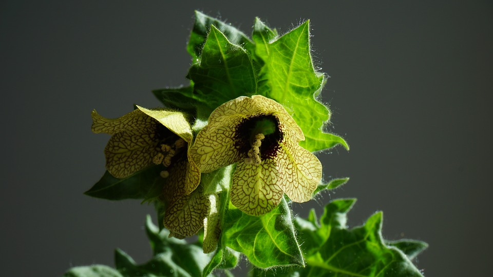 Poisonous Plants: 7 Deadly Poisonous Plants every plant Lover should know 3 - Daily Medicos