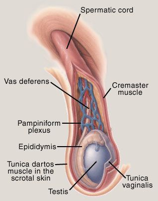 Pampiniform Plexus: All You Need to Know About The Pampiniform Plexus [Detail Guide] 12 - Daily Medicos