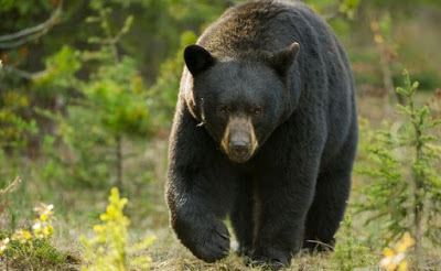 39 year-old woman 'killed by bear as she walked dogs