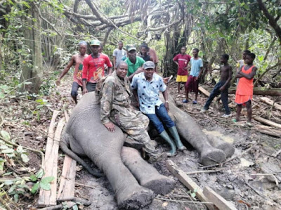 Local hunters continue to kill elephants in Ogun state as the 4th giant animal is brought down [photos]