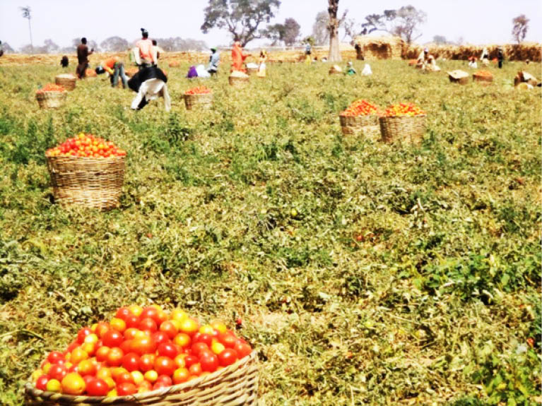 Kano tomato farmers urge minister to intervene on seedlings distribution