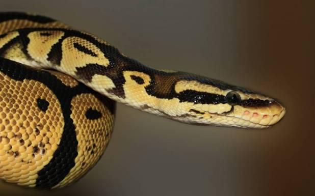 مساج پارلر میں سانپوں کے ذریعے گاہکوں کا مساج شروع کر دیا گیا، کیا آپ کروانا چاہیں گے؟