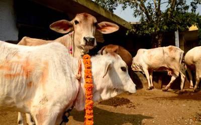 بھارتی حکومت نے گائے کے گوبر سے ٹوتھ پیسٹ بنانے کی تیار کرلی
