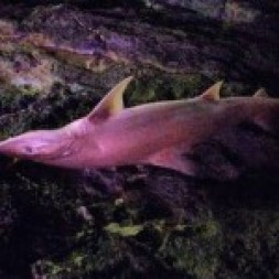 shark fuerteventura, marine fauna, corralejo, canary islands