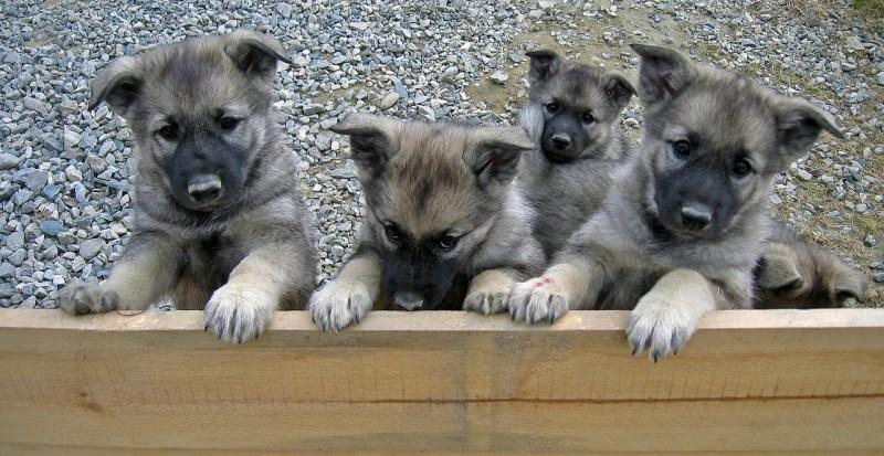 puppies-624392_1280