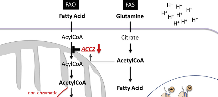 """Extrait d'un des schémas illustrant l'article scientifique du Dr Corbet, paru dans la revue """"Cell""""."""
