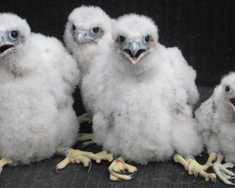 Téléréalité à Bruxelles pour trois couples de faucons pèlerins/ © IRSNB