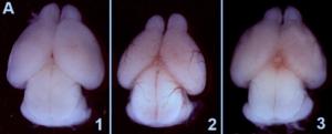 Cerveaux de souris sain (1) et infectés (2 et 3) par le virus Zika.