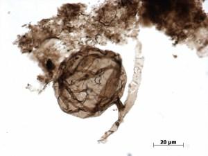"""Le champignon microscopique multicellulaire fossile à paroi organique Ourasphaira giraldae, composé de filaments en forme de """"T"""" et segmentés (hyphes), et connectés à une vésicule sphérique (spore). Taille : de 30 à 80 microns de diamètre (0,03 à 0,08 mm). © Loron et al., 2019"""