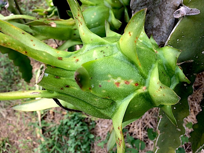 Pitaya: fruit en croissance avec taches.