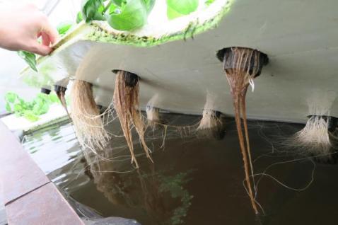 Racines de plantes nourries en aquaponie © Smart Aquaponics