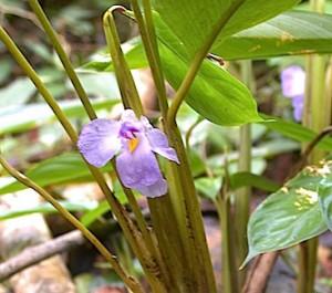 Halopegia azurea, de la famille des Marantacées.