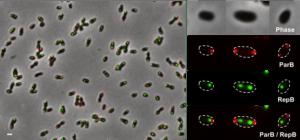 Cycle cellulaire de Brucella mis en évidence par marquage fluorescent.