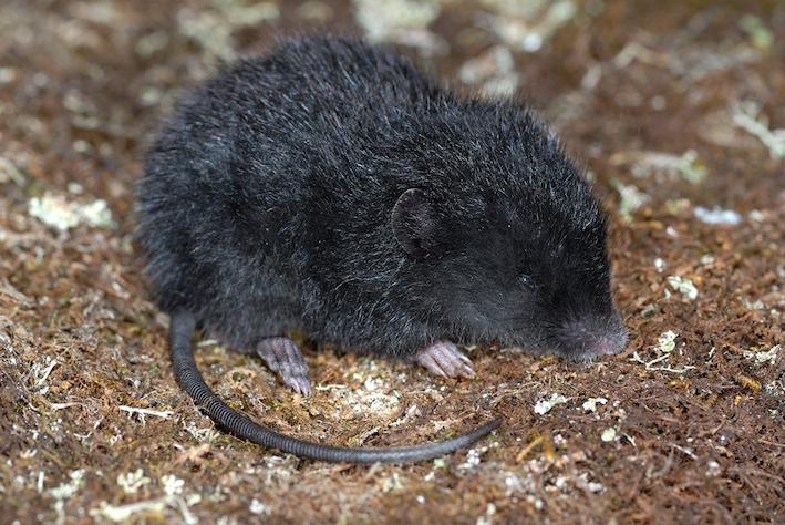 La souris Podoxymys roraimae est de petite taille, présente une queue et des oreilles courtes mais de longues griffes. © Philippe Kok