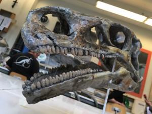 Moulage d'une tête de Platéosaure découverte en Allemagne.