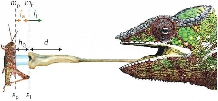 Quelles sont les forces en présence? Ce schéma montre la situation au moment de la rétractation de la langue avec «fa» comme force d'adhésion, «ft» la force appliqué, «h0» l'épaisseur initiale de la couche de mucus, et «d» la distance sur laquelle la force de rétractation s'applique.