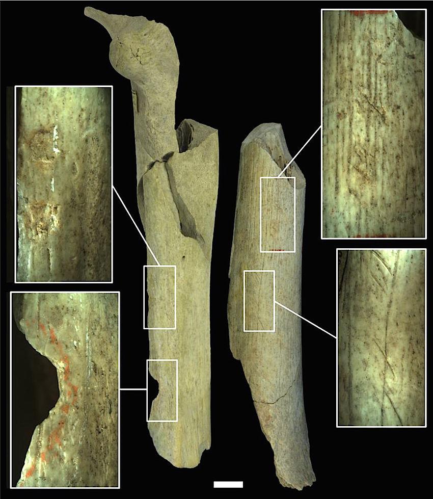 Les différentes traces de boucherie sur deux fémurs néandertaliens. Les deux impacts sur le fémur de gauche proviennent de tentatives pour briser les os et en extraire la moelle. Le fémur de droite porte des traces de découpe et d'utilisation comme retouchoir d'outils en silex. © IRSNB