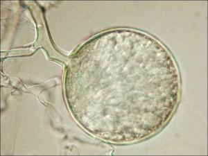 Spore d'un champignonmycorhizien à arbuscules.