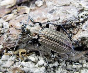 Le carabe granuleux (Carabus granulatus), aux ailes courtes, est typique des campagnes. Les villes, où les zones vertes sont fort espacées l'une de l'autre, ne favorisent pas ces espèces peu mobiles. (Photo - Siga)