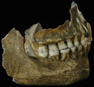 Mâchoires du Néandertalien Spy II. © IRSNB (Cliquer pour agrandir)